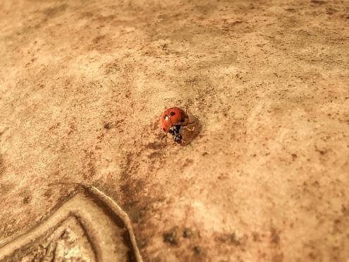 碑身上的瓢虫。